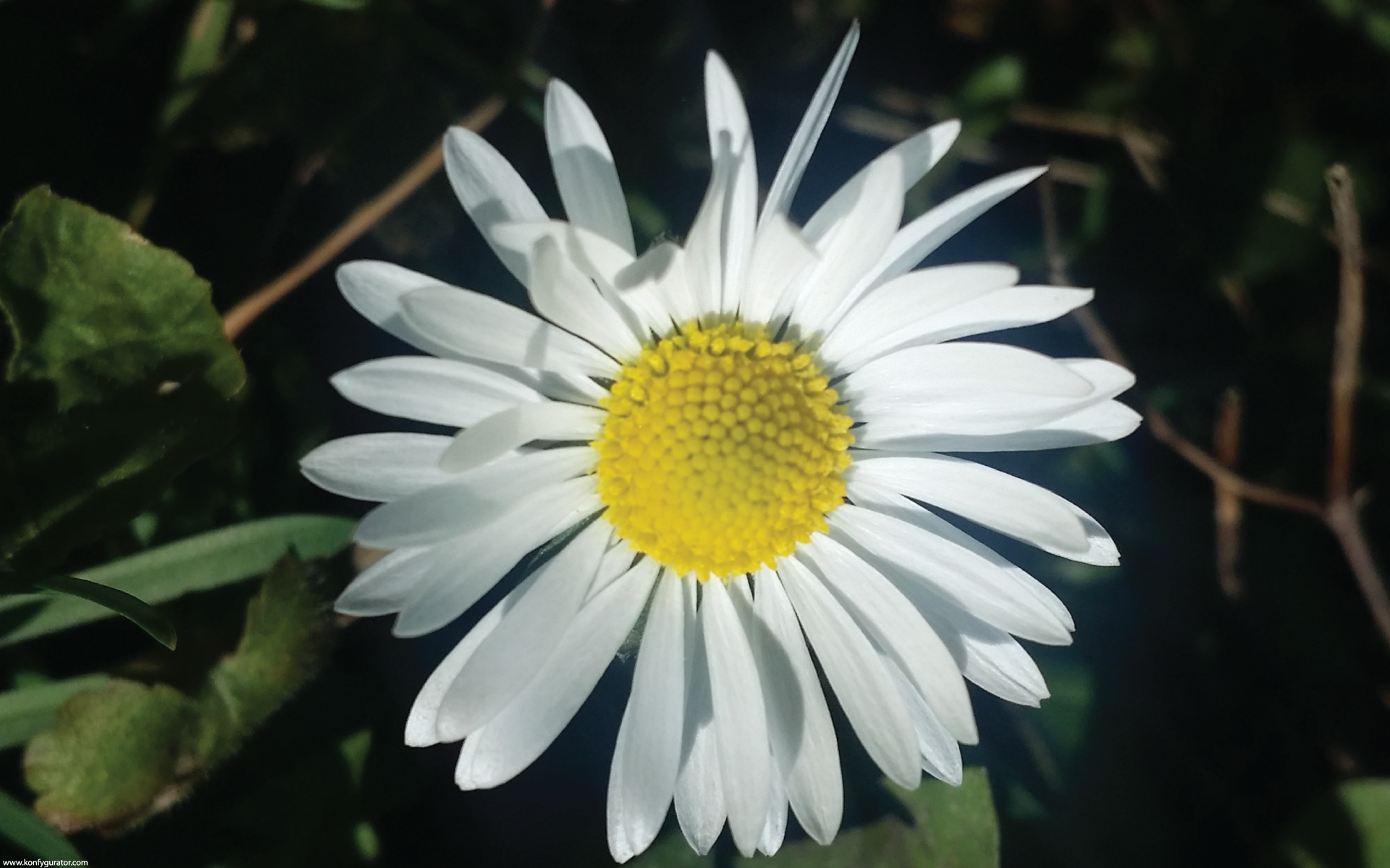 HD Wallpapers - Nature - daisy, one, dark