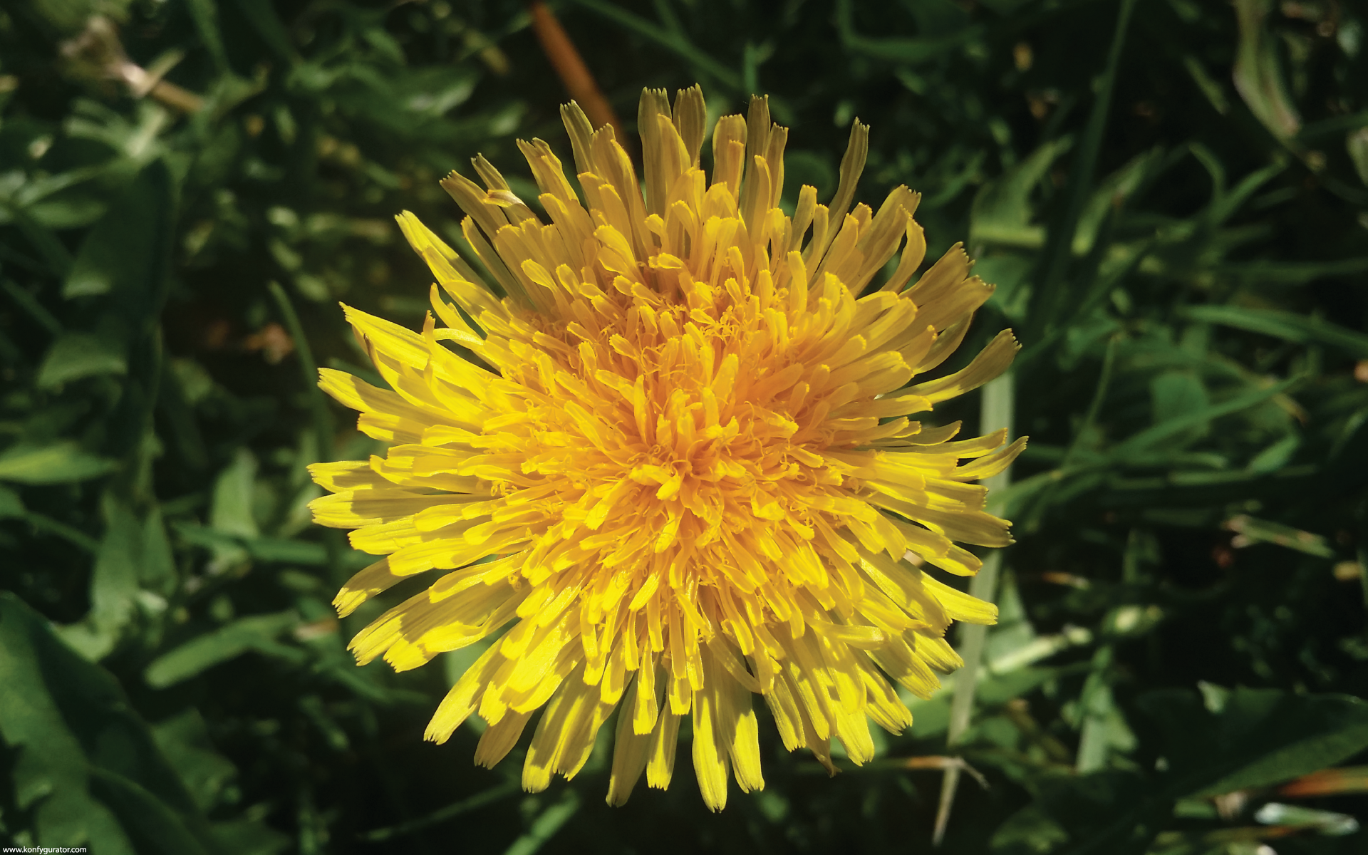 HD Wallpapers - Nature - dandelion, one, yellow